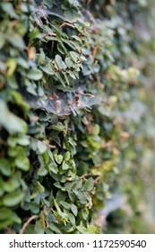Garden Wall Cobweb