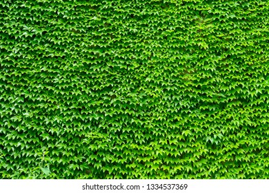 Garden wall covered with evergreen Ivy tree