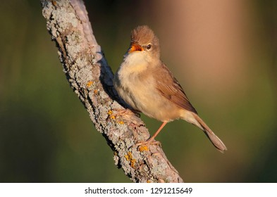 Garden warbler sings, opening its beak, sitting on a branch on a sunny summer morning on a uniform forest background