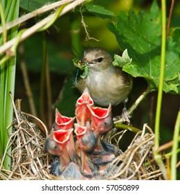 Garden Warbler (Sylvia borin) by a nest with baby bird.