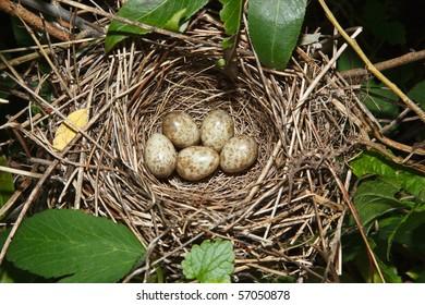 Garden Warbler, Sylvia borin. Nest of a bird with eggs in the nature.