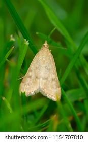 Garden Webworm Moth resting in the short green grass. Rosetta McClain Gardens, Toronto, Ontario, Canada.