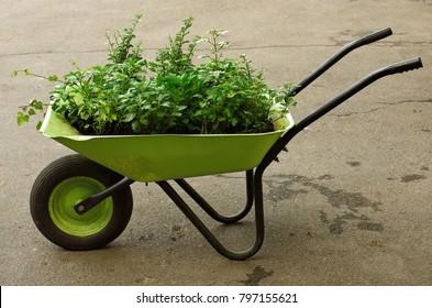garden wheelbarrow with young plants as a decorative element