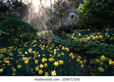 Garden of yellow daffodils and an old church ruin wit some sun rays in Monserrate park