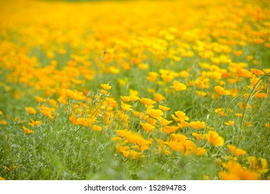 Garden of Yellow poppy and dragonfly