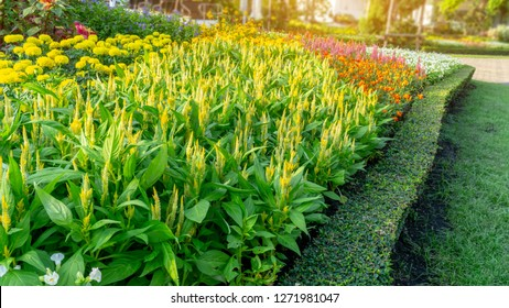 A garden of yellow Wool flower, yellow marigold and colorful flowering in a green leaf of Philippine tea plant border under sunlight morning, landscape design in public park