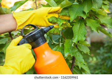 Gardener applying from aphids leaves and insecticide fertilizer to fruit and protects from fungus and pests using sprayer