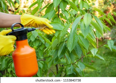 Gardener applying insecticidal fertilizer for fruit cherries and protects against fungus, aphids and pests using sprayer