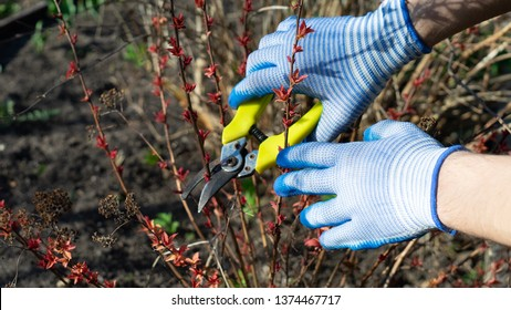 Gardener cuts dry branches of tree with pruning shears. Pruning bushes. Cutting Branches at spring. Close up hand of person taking care of Spirea japonica. Gardening on farm in autumn.
