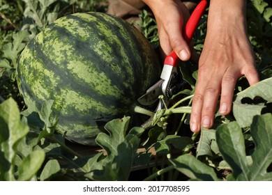 a gardener cuts a ripe striped watermelon. sweet harvest of summer