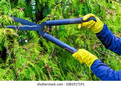 Gardener cutting hedge close up.Thuja