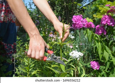A gardener is deadheading lily plants cutting off the spent flowers with bypass shears on a beautiful flowerbed.