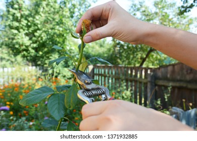 Gardener deadheading roses. Deadheading is one of the easiest forms of pruning.