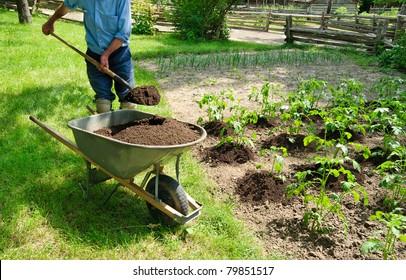 Gardener earthing up potato plants