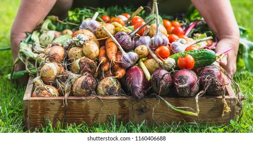 Gardener with fresh organic vegetables. Harvest of produce in the garden, organic farming concept