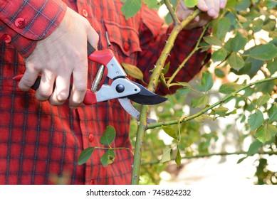 Gardener with garden pruning scissors pruning climbing roses. Pruning and Training Climbing Roses with Garden Pruning Scissors.