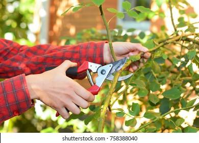 Gardener with garden pruning scissors pruning climbing roses . Pruning and Training Climbing Roses with Garden Pruning Scissors.