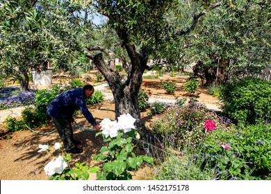 Gardener in the Gethsemane Olive Orchard, Garden located at the foot of the Mount of Olives, Jerusalem, Israel. April 2013