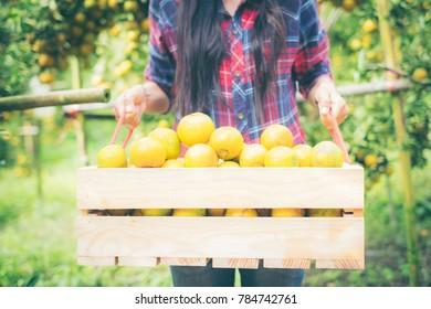 Gardener girl harvesting oranges in an orange tree field