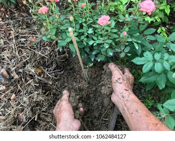 Gardener growing tree by hand, ornamental plant gardening, houseplants growing