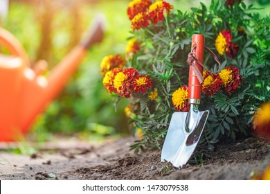 Gardener grows marigolds in home garden. Gardening and floriculture