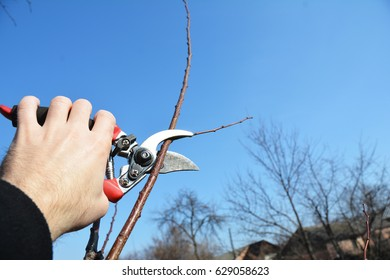Gardener hand cut tree branch with bypass secateurs, pruning in spring. Fruit tree pruning with pruning shears.