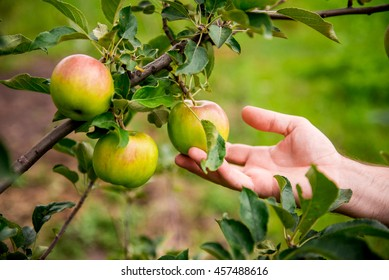 Gardener hand picking green apple. hand reaches for the apples on the tree