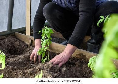 Gardener hands planting a tomatoes seedling in soil.