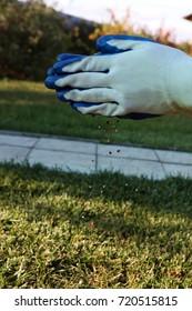 Gardener hands scattering autumn granular lawn fertilizer above the lawn in the autumn garden