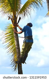 Gardener in harness climbing up a coconut (Cocos nucifera) palm tree to cut off dead branches in a tropical coastal garden. Man at work, work safety and hazard, work in heights.