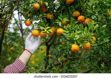 Gardener harvesting ripe oranges at tangerine garden