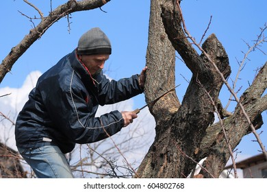 Gardener holds rejuvenating pruning of old fruit tree. He cuts thick branch with garden saw.