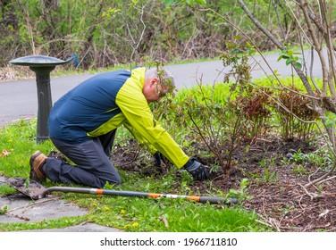 Gardener Kneels To Plant Rose Bush In New York Garden
