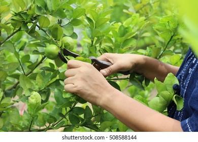 Gardener in lemon garden, of Thailand, Lemon collected by cutting a lemon