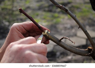 Gardener lubricates grafted place by garden wax using knife. Closeup.