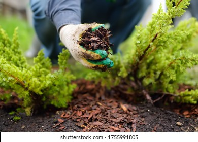Gardener mulching with pine bark juniper plants in the yard. Seasonal works in the garden. Landscape design. Ornamental shrub juniper. - Shutterstock ID 1755991805
