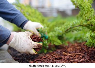 Gardener mulching with pine bark juniper plants in the yard. Seasonal works in the garden. Landscape design. Ornamental shrub juniper.