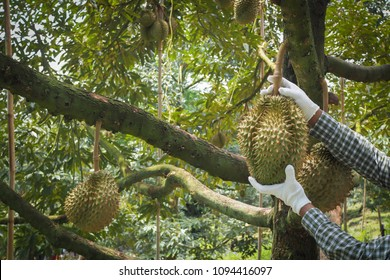 gardener picking Durian fruit on a farm, human hand hold Durian on garden background, king of fruit Thailand, Asian tropical Fruit.