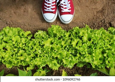 Gardener picking fresh lettuce from her garden . Fresh green curly Lettuce salad background. Top view