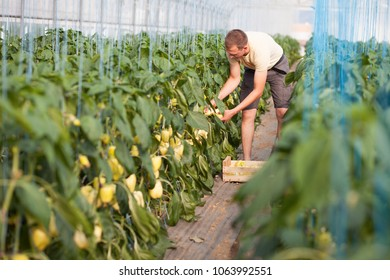 Gardener picking ripe bell peppers in a greenhouse