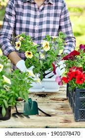Gartenpflanzung mit Blumenwerkzeugen. Frau Hand, die Blumen pflanzt Petunia hinter Holztisch im Sommergarten zu Hause, im Freien. Das Konzept von Gartenbau und Blumen.