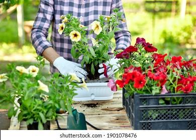 Gartenpflanzung mit Blumenwerkzeugen. Weibliche Hand, die Blumen Blumen Petunien, stehen hinter einem Holztisch im Sommergarten zu Hause, im Freien. Das Konzept von Gartenbau und Blumen.