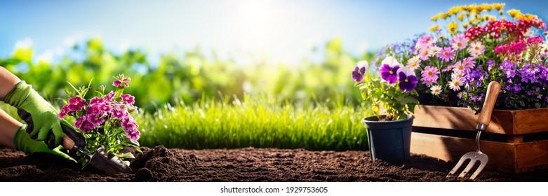 Gardener planting flowers in the garden - Shutterstock ID 1929753605
