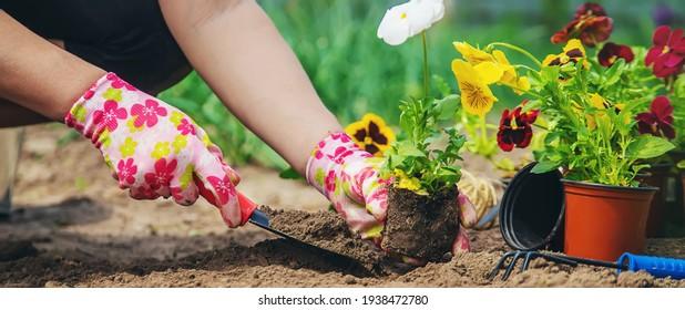 The gardener is planting flowers in the garden. Selective focus. nature.
