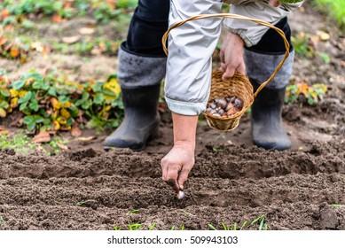 Gardener planting garlic in the vegetable garden. Autumn gardening.
