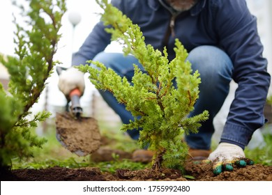 Gardener planting juniper plants in the yard. Seasonal works in the garden. Landscape design. landscaping. Ornamental shrub juniper.