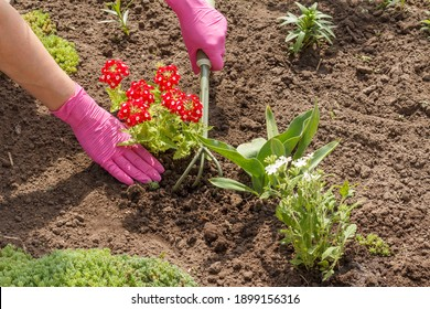 Gardener is planting red vervain flowers using a small rake in a garden bed. Flower bed organization.