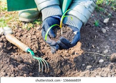 Gardener planting seedling in cultivated soil.Gardening concept