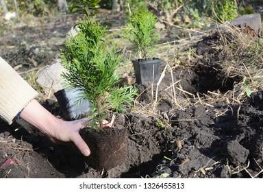 Gardener planting Thuja occidentalis 'Smaragd'  sapling.