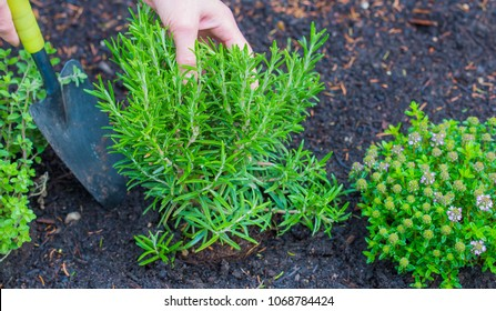 a gardener plants herbs in a bed